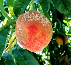 ripening peach shows brown rot fungus